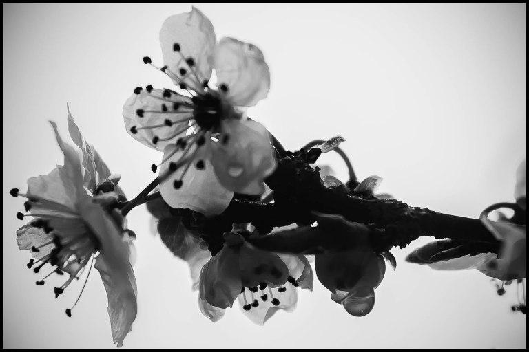 cherry (?) blossom